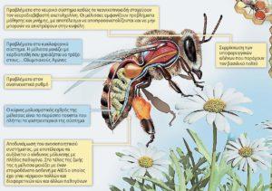 Φάρμακα και θεραπείες για το μελίσσι bee, farmaka